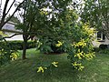 2017-06-22 17 29 26 Goldenrain Tree blossoms along Kinross Circle near Ravenscraig Court in the Chantilly Highlands section of Oak Hill, Fairfax County, Virginia.jpg