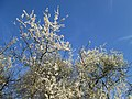 20190320 Prunus cerasifera 05.jpg