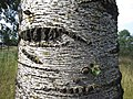 2020-08-19 — Populus × canescens (bark), Haaksbergen – 2.jpg