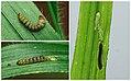 38.015 BF620 Elachista gangabella larva (4962782783).jpg