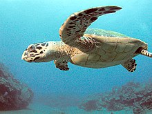 Photo of turtle swimming with extended flippers