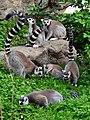 50 Jahre Knie's Kinderzoo Rapperswil - Lemur catta 2012-10-03 15-29-05.JPG