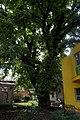 51-101-5026 Дуб у провулку Матросова, Одеса.jpg