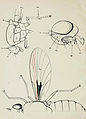 59-Indian-Insect-Life - Harold Maxwell-Lefroy - External-anatomy-of-a-Fly.jpg