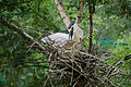 A Night Heron building a nest.JPG