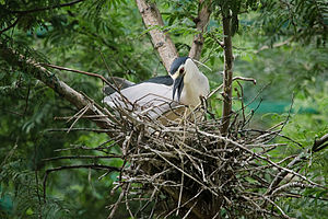 Black-crowned night heron - A night heron building a nest.