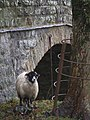 A Smiling Sheep poses next to Newfield Bridge - geograph.org.uk - 621106.jpg