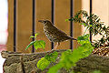 A Songthrush standing on a log.jpg