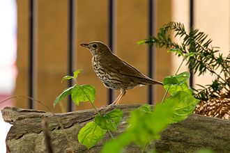 Song thrush - A Song Thrush standing on a log