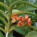 A and B Larsen orchids - Ascocenda Medasand 1040-13x.jpg