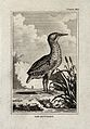 A bittern. Etching with engraving. Wellcome V0022243ER.jpg