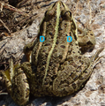 A frog at Beglik Tash P1020610 tagged.png