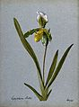 A lady's slipper orchid (Cypripedium Ballae); flowering stem Wellcome V0043277.jpg
