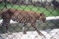 A leopard at Indroda Park.tif