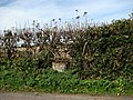 A neatly trimmed hedge - geograph.org.uk - 570299.jpg