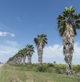 A row of palm trees in the Santa Ana National Wildlife Refuge, on the Rio Grande River border with Mexico in Hidalgo County, Texas LCCN2014630444.tif