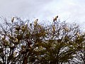 A sedge of cranes.jpg