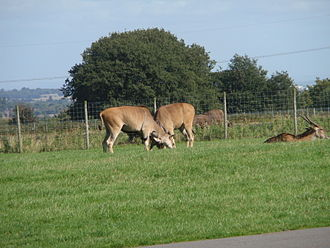 Common eland - Two male elands fighting over dominance, Knowsley Safari Park