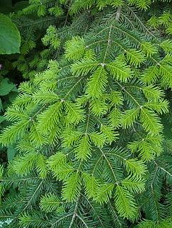 <i>Abies veitchii</i> species of plant