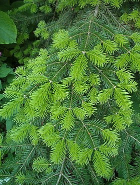 Abies veitchii.JPG