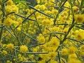 Acacia euthycarpa.jpg