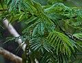 Acacia pennata leaves in Talakona forest, AP W IMG 8291.jpg