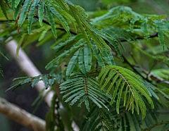 Acacia pennata leaves in Talakona forest, AP W IMG 8291.jpg