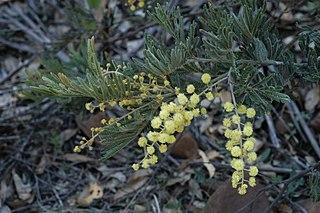 <i>Acacia fulva</i> species of plant