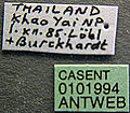 Acanthomyrmex crassispinus casent0101994 label 1.jpg