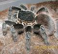 Acanthoscurria sp. bolivia.jpg