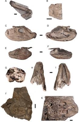 Acanthostega gunnari, skeletal finds [1]