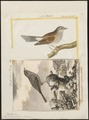 Accentor modularis - 1700-1880 - Print - Iconographia Zoologica - Special Collections University of Amsterdam - UBA01 IZ16200394.tif