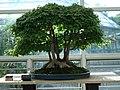 Acer Buergerianum bonsai 2.JPG