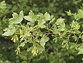 Acer mosnpessulanum 20140414.jpg