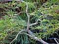 Acer palmatum Nigrum 1zz.jpg