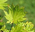 Acer shirasawanum (golden fullmoon maple) 1 (46332846881).jpg