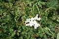 Achilea sp. Asteraceae 08.jpg