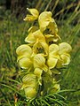 Aconitum anthora (40204928853).jpg