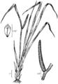 Acorus americanus drawing.png