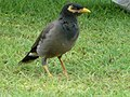 Acridotheres tristis in the grounds of the Le Royal Méridien Beach Resort and Spa in Dubai 7.jpg