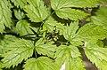 Actaea spicata leaf (10).jpg