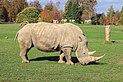 Adult White Rhinoceros (Ceratotherium simum simum) (CWPG).jpg