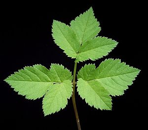 image of Aegopodium podagraria1 ies