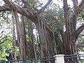 Aerial root of a banyan tree.JPG