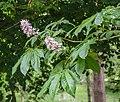 Aesculus indica in Hackfalls Arboretum (4).jpg