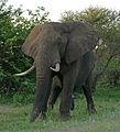 African Elephant (Loxodonta africana) male (17289351322).jpg
