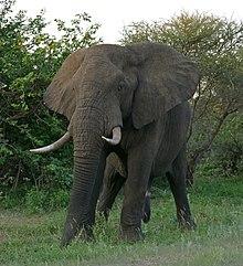 Elefante africano (Loxodonta africana) macho (17289351322) .jpg