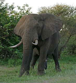 African bush elephant Species of mammal