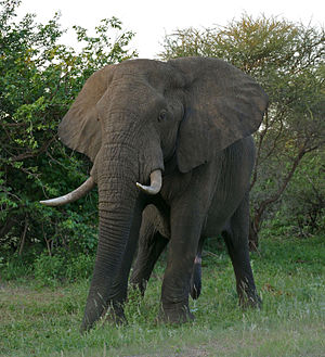 African bush elephant - A male African bush elephant, Loxodonta africana, in Kruger National Park, South Africa