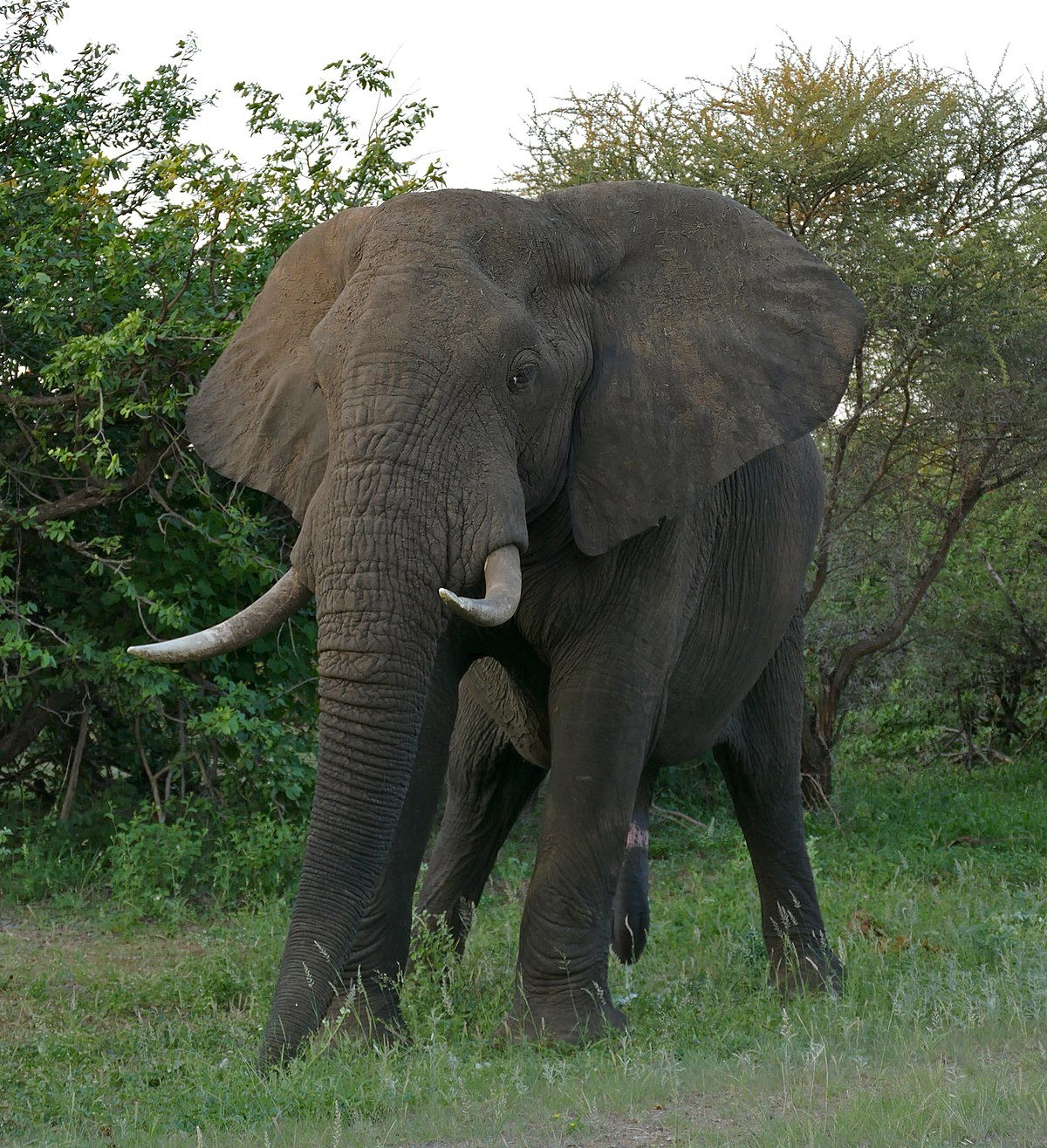 Adult elephant links list